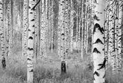 Studio Decor Valokuvatapetti 4-023 Woods Xxl 368X248cm