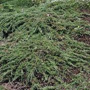 P-Plant Kääpiökataja 'Green Carpet' 20-30Cm Astiataimi 15Cm Ruukussa