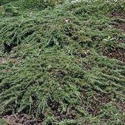 P-Plant Kääpiökataja 'Green Carpet' 30-40Cm Astiataimi 19Cm Ruukussa