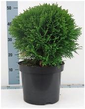 P-Plant Pallotuija 'Danica' 30-40Cm Astiataimi 23Cm Ruukussa