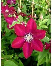Heideveld Loistokärhö Rouge Cardina