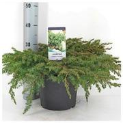 Temppelikataja 'Schlager'. Leveys 30-40Cm. Ruukku 23Cm. Astiataimi. Juniperus Rigida Conferta 'Schlager'