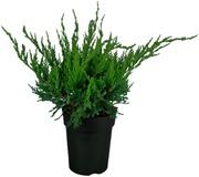 P-Plant Tarhakataja 'Mint Julep' 20-30Cm Astiataimi 15Cm Ruukussa