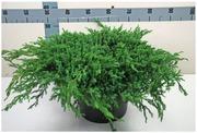 P-Plant Sinikataja 'Blue Carpet' 50-60Cm Astiataimi 31Cm Ruukussa
