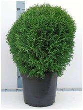 P-Plant Pallotuija 'Little Giant' 40-50Cm Astiataimi 31Cm Ruukussa