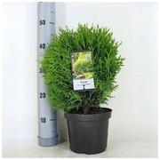 P-Plant Pallotuija 'Little Giant' 25-30Cm Astiataimi 19Cm Ruukussa