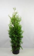 P-Plant Kartiotuija 'Brabant' 120-140Cm Astiataimi Ruukutettu