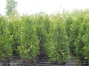 P-Plant Kartiotuija 'B...