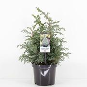 P-Plant Hernesypressi 'Baby Blue' 25-30Cm Astiataimi 19Cm Ruukussa