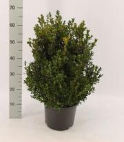 P-Plant Isopuksipuu 40-60Cm Aitataimi 5L Ruukussa