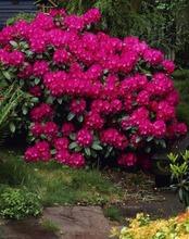 P-Plant Alppiruusu 40-60Cm