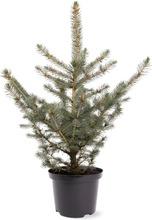 Hopeakuusi 'Glauca'. Picea Pungens 'Glauca'. Korkeus Ruukun Päältä Mitattuna 50-60Cm. Ruukku 5L. Astiataimi
