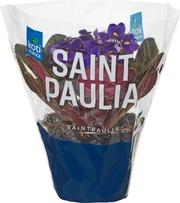 Saintpaulia