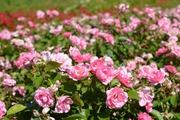 Ruusu Easy Elegance Pinktopia 3 L