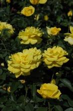 Puutarha Tahvoset Ruusu 'Friesia' 3Kpl