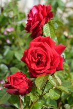 Puutarha Tahvoset Ruusu 'Burgund' 3Kpl