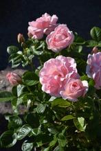 Puutarha Tahvoset Ruusu 'Astrid Lindgren' 3Kpl