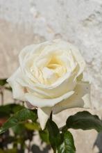 Puutarha Tahvoset Ruusu 'Karen Blixen' 3Kpl