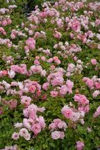 Puutarha Tahvoset Ruusu 'Sommerwind' 3Kpl
