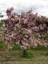 Puutarha Tahvoset purppuraomenapuu 'Hopa' 150-250 astiataimi