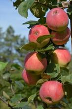Puutarha Tahvoset Omenapuu 'Gita' Astiataimi 7,5L Ruukussa