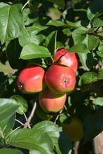 Puutarha Tahvoset Omenapuu 'Heta' Astiataimi 7,5L Ruukussa