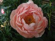 Satakunnan Taimitukku Kiinanpioni 'Coral Sunset' Paeonia Lactiflora