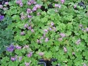 Satakunnan Taimitukku Peittokurjenpolvi 'Cambridge' Geranium X Cantabrigiense