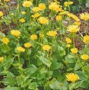 Satakunnan Taimitukku Kevätvuohenjuuri 'Little Leo' Doronicum Orientale