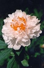 Satakunnan Taimitukku Kiinanpioni 'Primevere' Paeonia Lactiflora