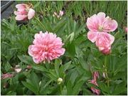 Satakunnan Taimitukku Kiinanpioni 'Pecher' Paeonia Lactiflora