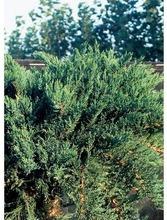 P-Plant Rohtokataja 25-30Cm Astiataimi 19Cm Ruukussa