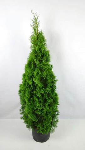 P-Plant Timanttituija 'Smaragd' 150-175Cm Astiataimi Ruukutettu