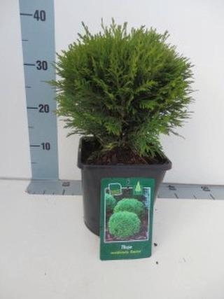 P-Plant Pallotuija 'Danica' 20-25Cm Astiataimi 19Cm Ruukussa