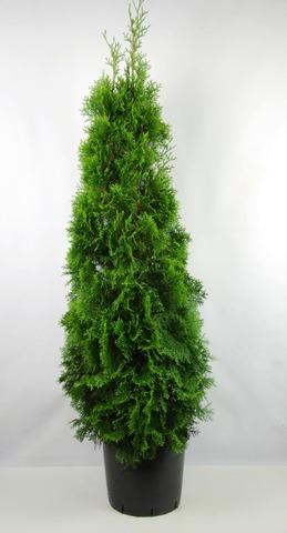 Timanttituija 'Smaragd'. Korkeus 175-200Cm Paakun Päältä Mitattuna. Ruukutettu. Ruukun Tilavuus 18 Litraa. Taimi Koulittu Keväällä Vahvemman Juuriston Kasvattamiseksi. Thuja Occidentalis 'Smaragd'