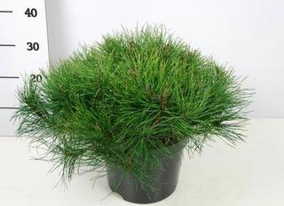 Vuorimänty. Halkaisija 45-50Cm. Ruukun Halkaisija 26Cm. Astiataimi. Pinus Mugo 'Mughus'