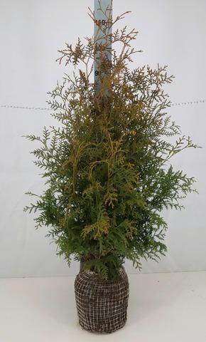 P-Plant Kartiotuija. Korkeus 100-120Cm Paakun Päältä Mitattuna. Paakkutaimi