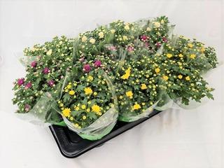 Parvekekrysanteemi