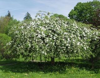 Puutarha Tahvoset rautatieomenapuu 'Hyvingiensis' 180cm astiataimi