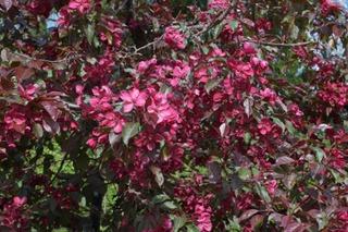 Puutarha Tahvoset purppuraomenapuu 'Royalty' 150-250cm astiataimi