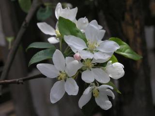 Puutarha Tahvoset paratiisiomenapuu 'Dolgo', 150-250, astiataimi 7,5l ruukussa