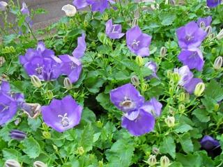 Satakunnan Taimitukku Karpaattienkello 'Blaue Clips' Campanula Carpatica