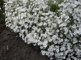 Satakunnan Taimitukku Hopeahärkki Cerastium Tomentosum