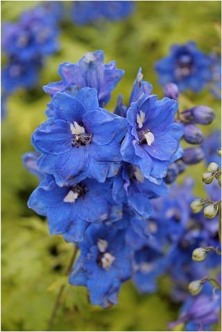 Satakunnan Taimitukku Jaloritarinkannus 'Blue Bird' Delphinium Elatum-Ryhmä