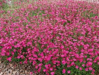 Satakunnan Taimitukku Ketoneilikka Dianthus Deltoides