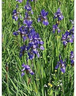 Satakunnan Taimitukku Siperiankurjenmiekka Iris Sibirica