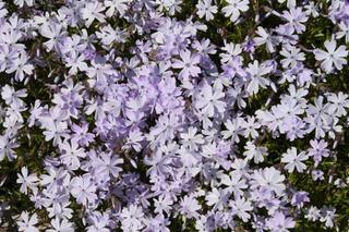 Satakunnan Taimitukku Sammalleimu 'Cushion Blue' Phlox Subulata