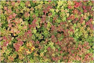 Satakunnan Taimitukku Oregoninmaksaruoho Sedum Oreganum