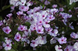Satakunnan Taimitukku Syysleimu 'Sini' Phlox Paniculata