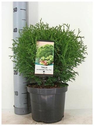 P-Plant Pallotuija 'Tiny Tim' 20-25Cm Astiataimi 19Cm Ruukussa